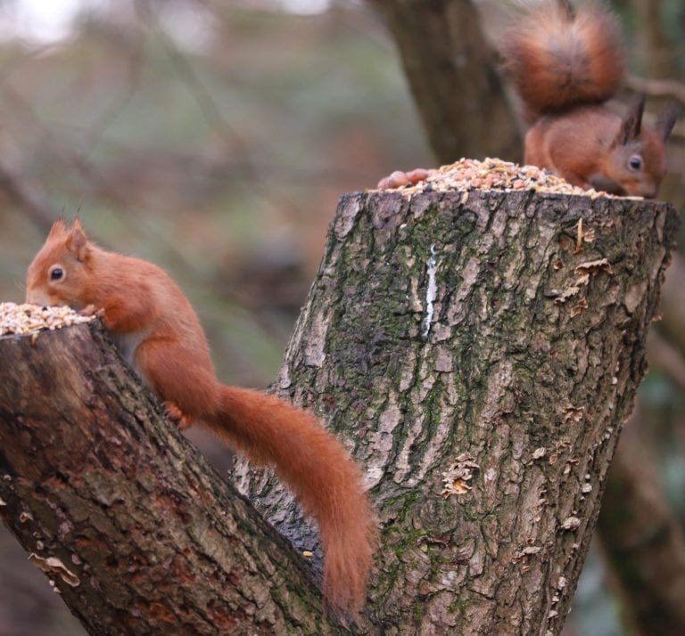 Image of a Red Squirrel: History of Red Squirrels on the Isle of Wight