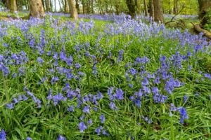 Photo of Bluebells