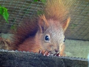 Photograph of a Red Squirrel related to Distribution of Red and Grey Squirrels