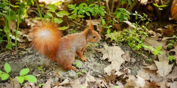 isle of wight red squirrel trust 3